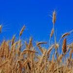 Weizen im Himmel — Stockfoto