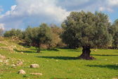 Olive grove in Israel — Stock Photo