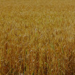 Just field of wheat — Stock Photo #12265368