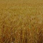 只是领域的小麦 — 图库照片 #12265368