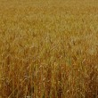Just field of wheat — Stock Photo