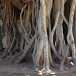 Stock Photo: Root of Ficus