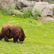 Stock Photo: GRIZZLY BEAR WALKING