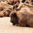 WILD BISON HERD — Stock Photo #38323695