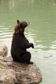 Black bear sitting up side view — Foto Stock