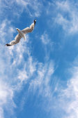 Seagull flying in the sky — Stock Photo