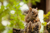 Squirrel in a Green Forest — Stockfoto