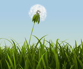 Overblown dandelion. — Stock Photo