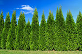 Cypresses — Stock Photo