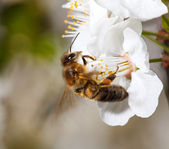 A bee on a white flower — Stock Photo