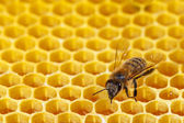 Bee on a combs — Stock Photo
