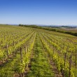 Wine country vineyard in Northern Italy — Stock Photo