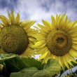 Sunflowers over a blue sky with white clouds — Stock Photo #28139643