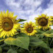 Beautiful landscape with sunflower field over cloudy blue sky an — Stok fotoğraf