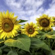 Beautiful landscape with sunflower field over cloudy blue sky an — Foto de Stock