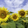 Sunflower field with blue sky — Stock Photo