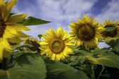 Sun flower 3d close up — Stock Photo