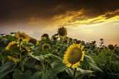Beautiful sunset over a sunflower field — Stock Photo