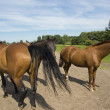 Stock Photo: Three horses