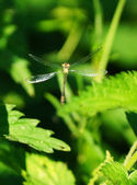 Flying damselfly — Stock Photo