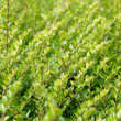 Stock Photo: Green shrub