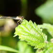 Stock Photo: Damselfly