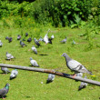 Stock Photo: Group of pigeons
