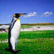 King Penguins at Volunteer Point on the Falkland Islands — Foto de Stock
