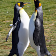 Stock Photo: King Penguins at Volunteer Point