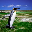 King Penguins at Volunteer Point on the Falkland Islands — Стоковая фотография