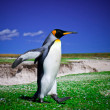 King Penguins at Volunteer Point on the Falkland Islands — Stock Photo #29216583