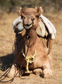 Camel in Rajasthan India — Stock Photo