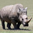 Stock Photo: Rhino