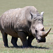 Stock Photo: The Rhino