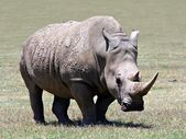 The Rhino — Stock Photo