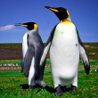Stock Photo: King Penguins at Volunteer Point on Falkland Islands
