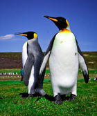 King Penguins at Volunteer Point on the Falkland Islands — Stock Photo