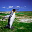King Penguins at Volunteer Point on the Falkland Islands — Stock Photo #29480865