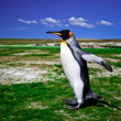 King Penguins at Volunteer Point on the Falkland Islands  — 图库照片