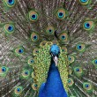 Peacock — Stock Photo #29486727