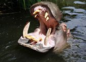 Hipopótamo buscando una comida — Foto de Stock