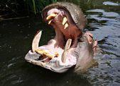 Hippo letar du efter en måltid — Stockfoto