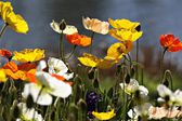 Colorful poppies - Canberra's Floriade festival — Stock Photo