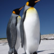 King Penguins at Volunteer Point — Stock Photo #29586079