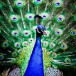 Beautiful peacock displays its plumage — Stockfoto #30281239