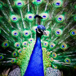 Beautiful peacock displays its plumage — Stock Photo
