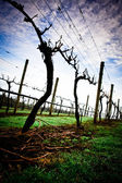 Winter Grape Vines in Tasmania's Tamar Valley — Stock Photo
