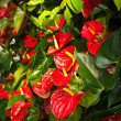 Stock Photo: Anthurium