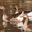 Stock Photo: Graylag goose