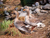 Graylag goose — Stock Photo